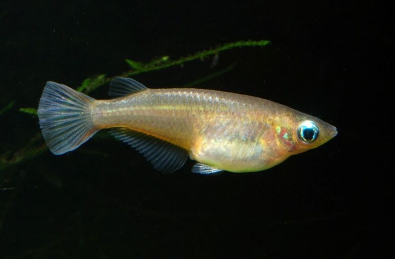 Oryzias Oryzias latipes